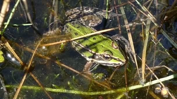 grüne frosch im teich