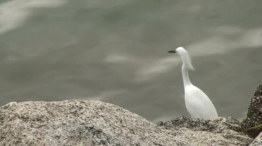 Footage of Florianopolis, Big white bird at sea side