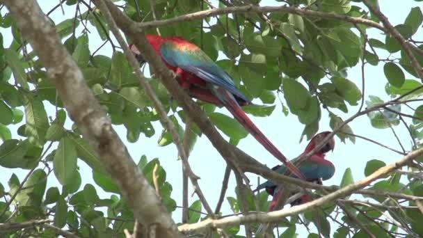Pantanal, ARA (Ara macao) na stromě