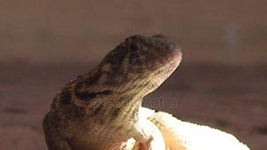 Closeup of sitting lizard