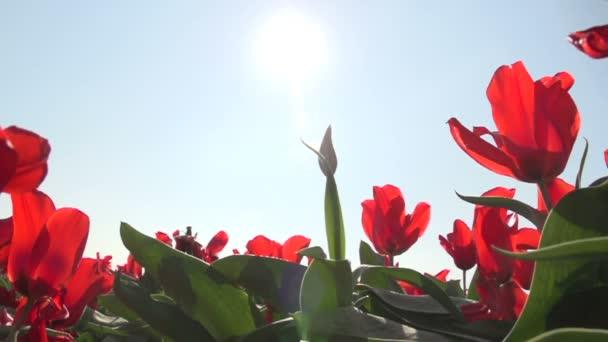 Červený Tulipán pěstování