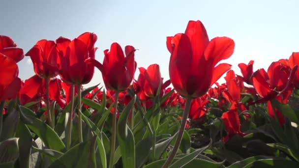 Piros tulipán termesztése