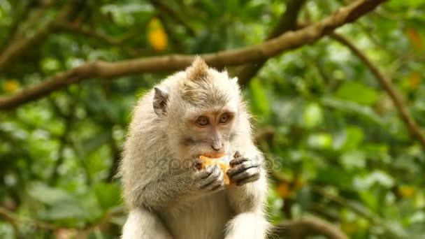 Bolivijský opice sedící na stromě