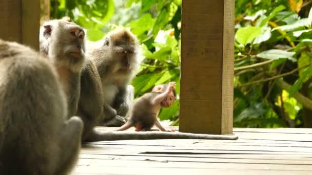 Monkey Wild Monkeys in Bali