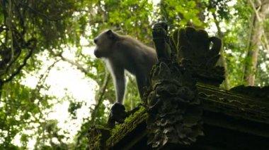 Monkey Wild Monkey in Bali