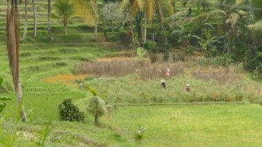Farmers at work on paddy field, Tabanan, Indonesia