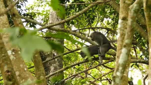 Makákó majmok a fán, Ubud, Bali