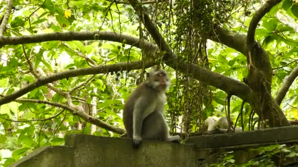 Macaque monkey on ancient wall at Monkeyforest in Ubud, Bali