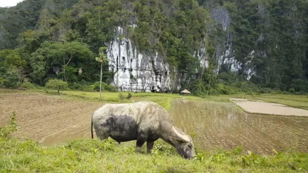 Beautiful wild Buffalo in Philippines