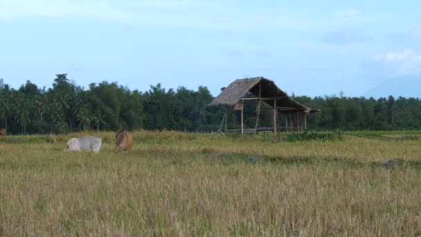 krávy pasoucí se na pšeničném poli, panorama pohled