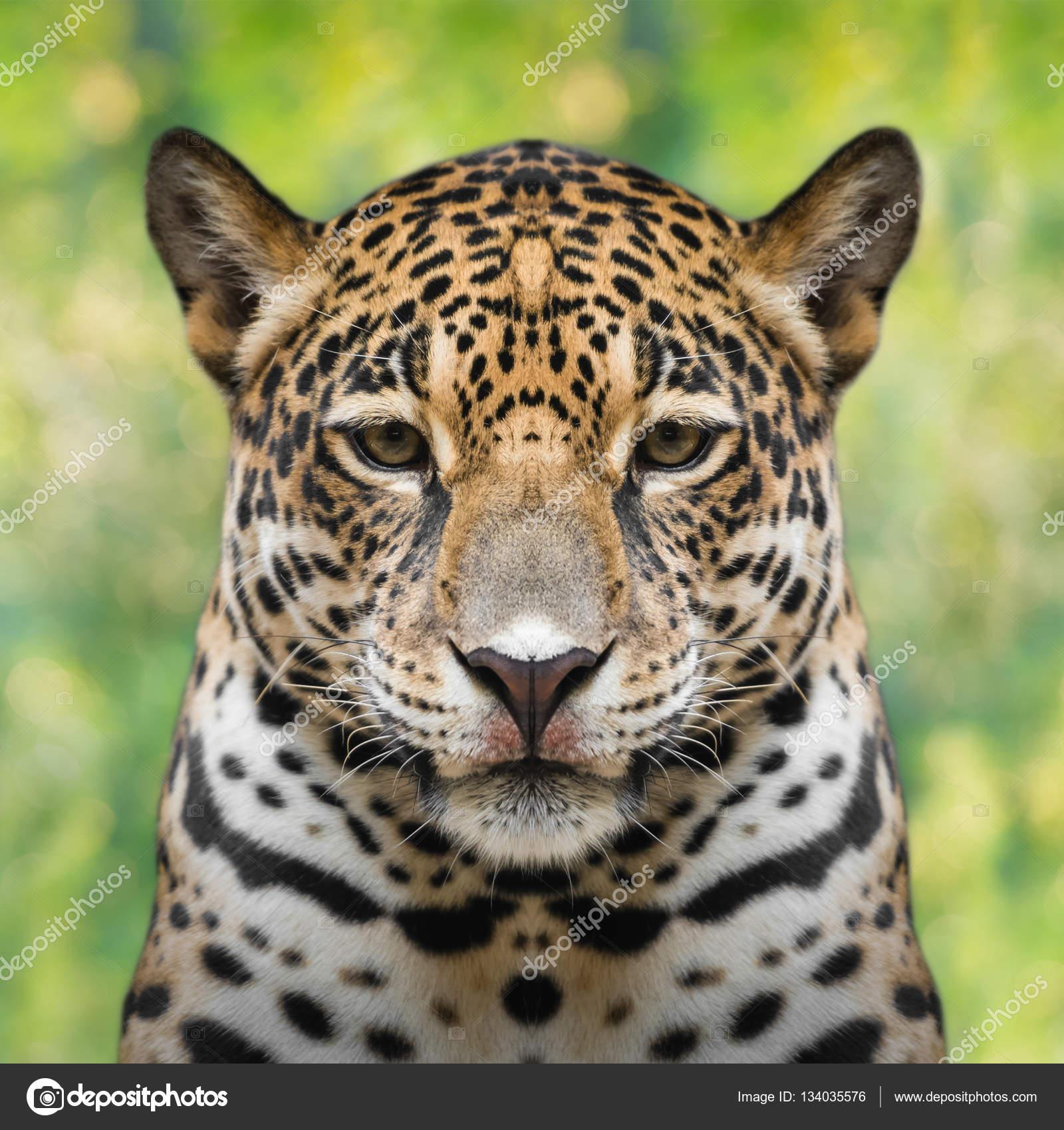 Superb Rosto De Jaguar Close Up U2014 Fotografia De Stock