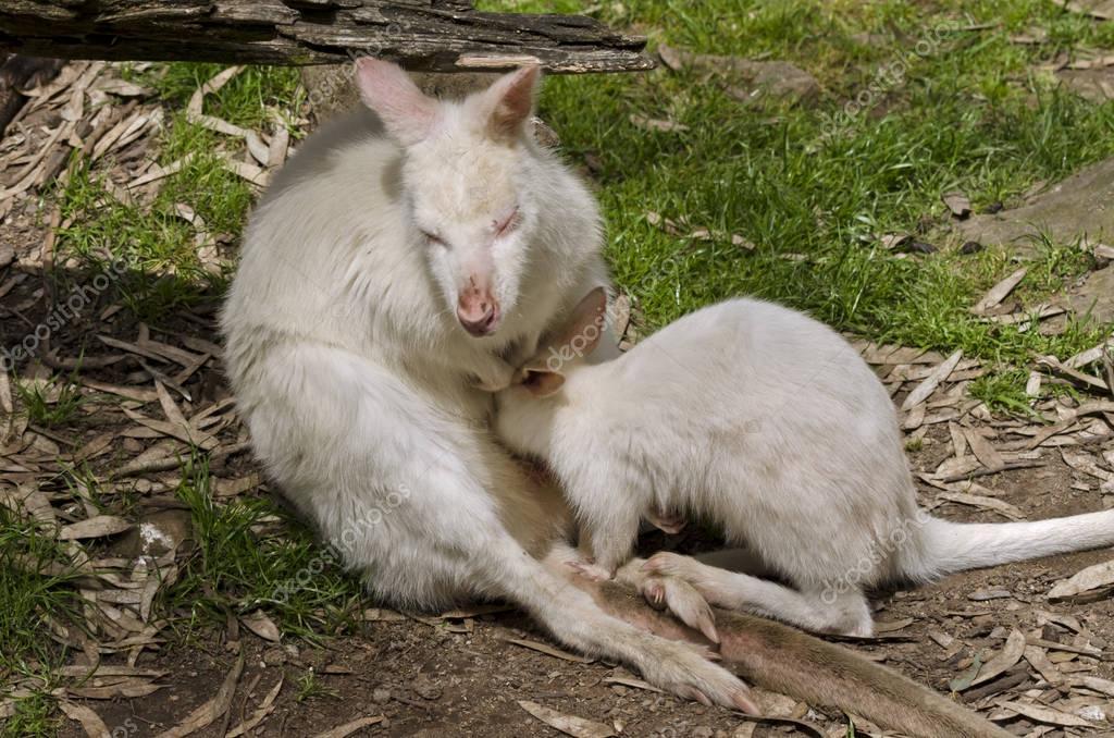 Kangaroo and baby joey — Stock Photo © ozflash #129919848