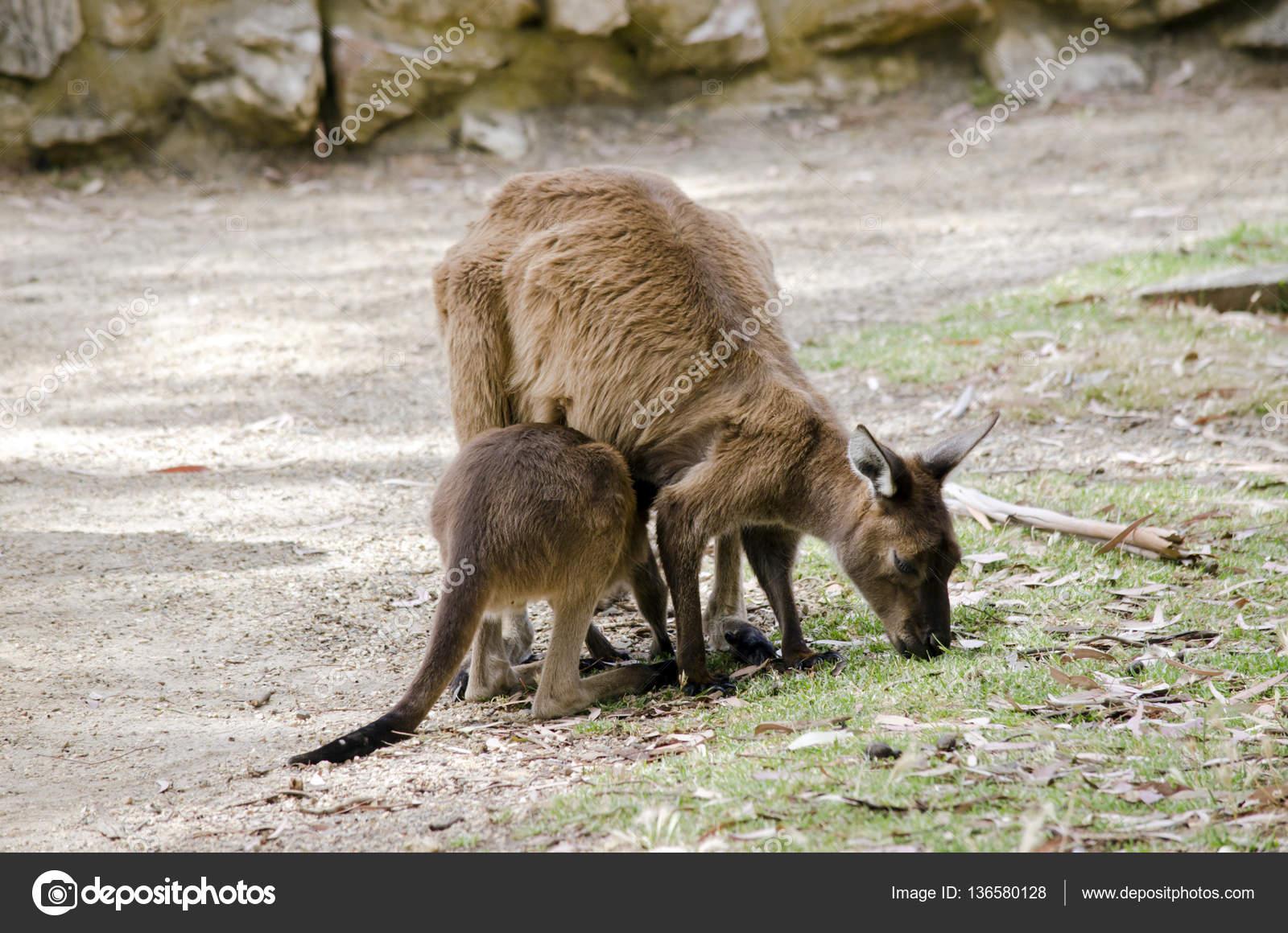 Секс с кенгуру онлайн, Кенгуру секс. Смотреть на сайте online 24 фотография