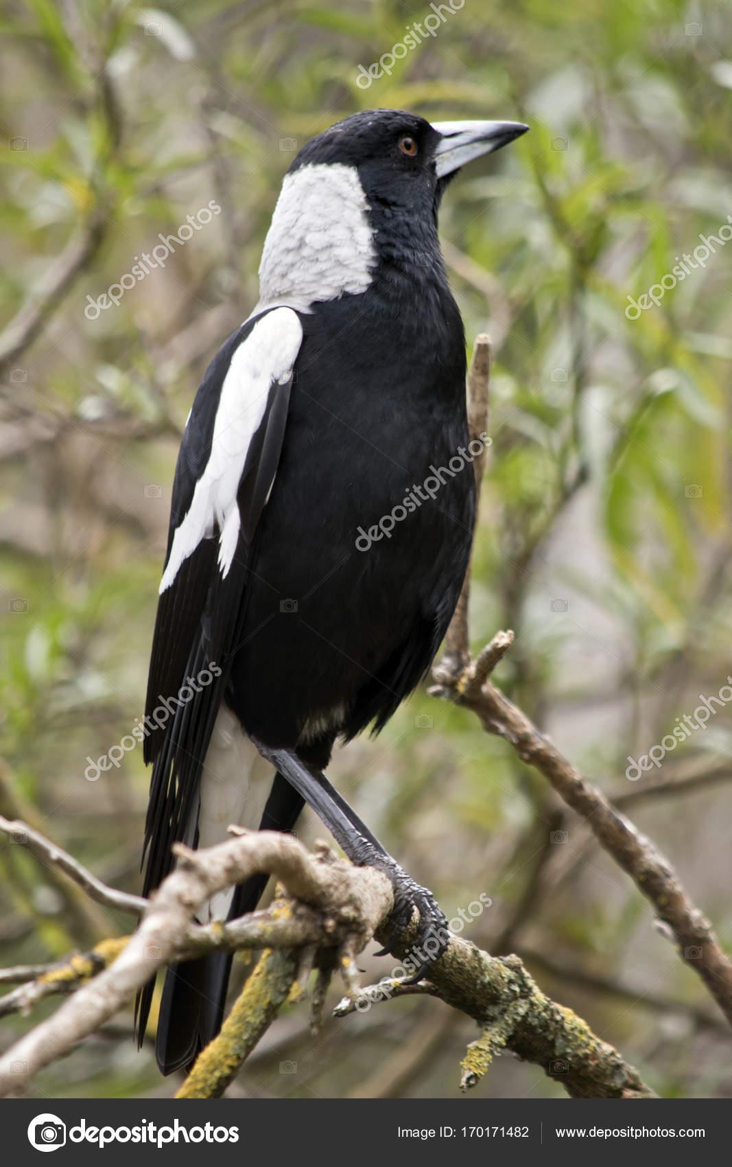 Fotos Urracas Negras Aves Urraca Australiana Foto De Stock