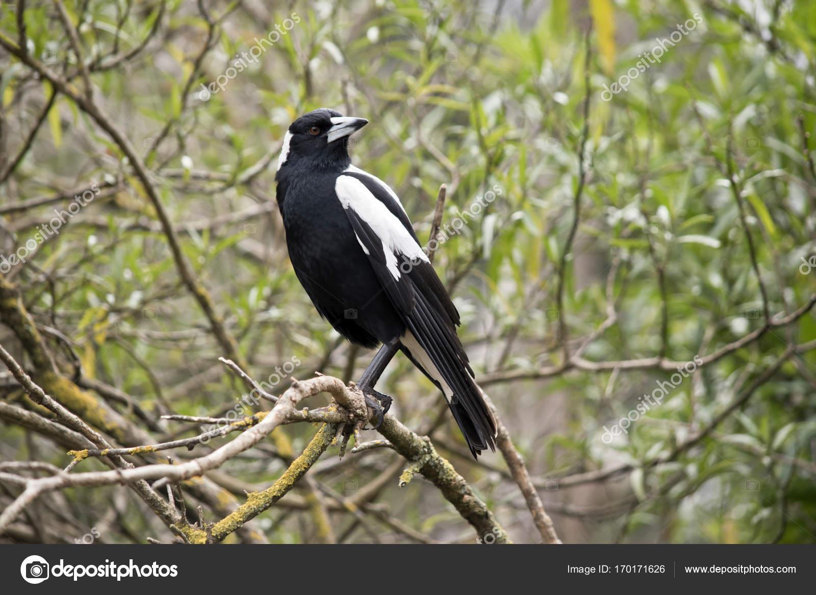 Aves Blancas Y Negras Aves Urraca Australiana Foto De Stock