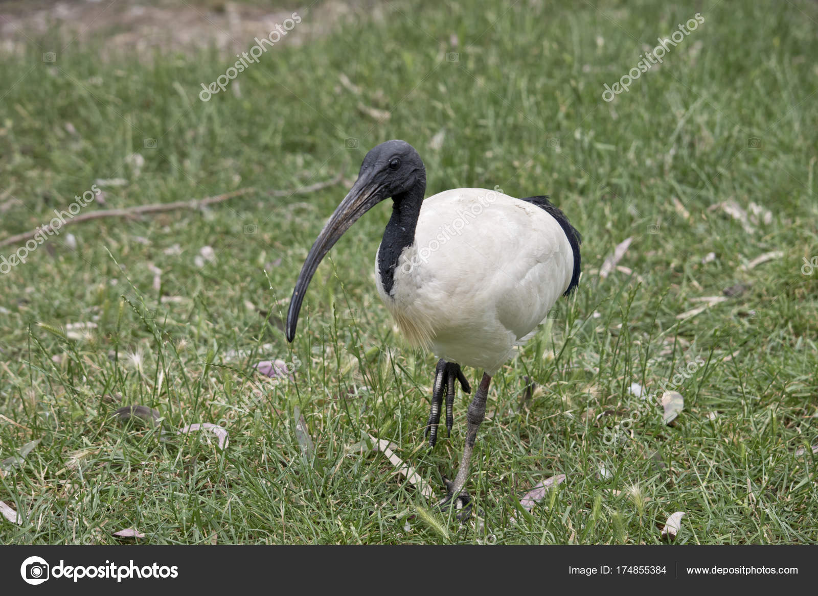 weißer ibis langer schnabel stockfoto ozflash 174855384