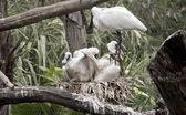 Královské kolpíků a její mláďata