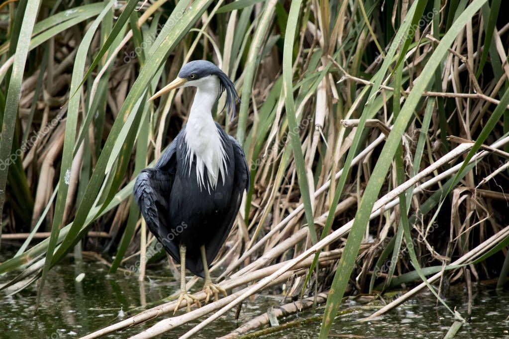 pied heron standing