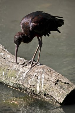 the glossy ibis is looking for food in the water