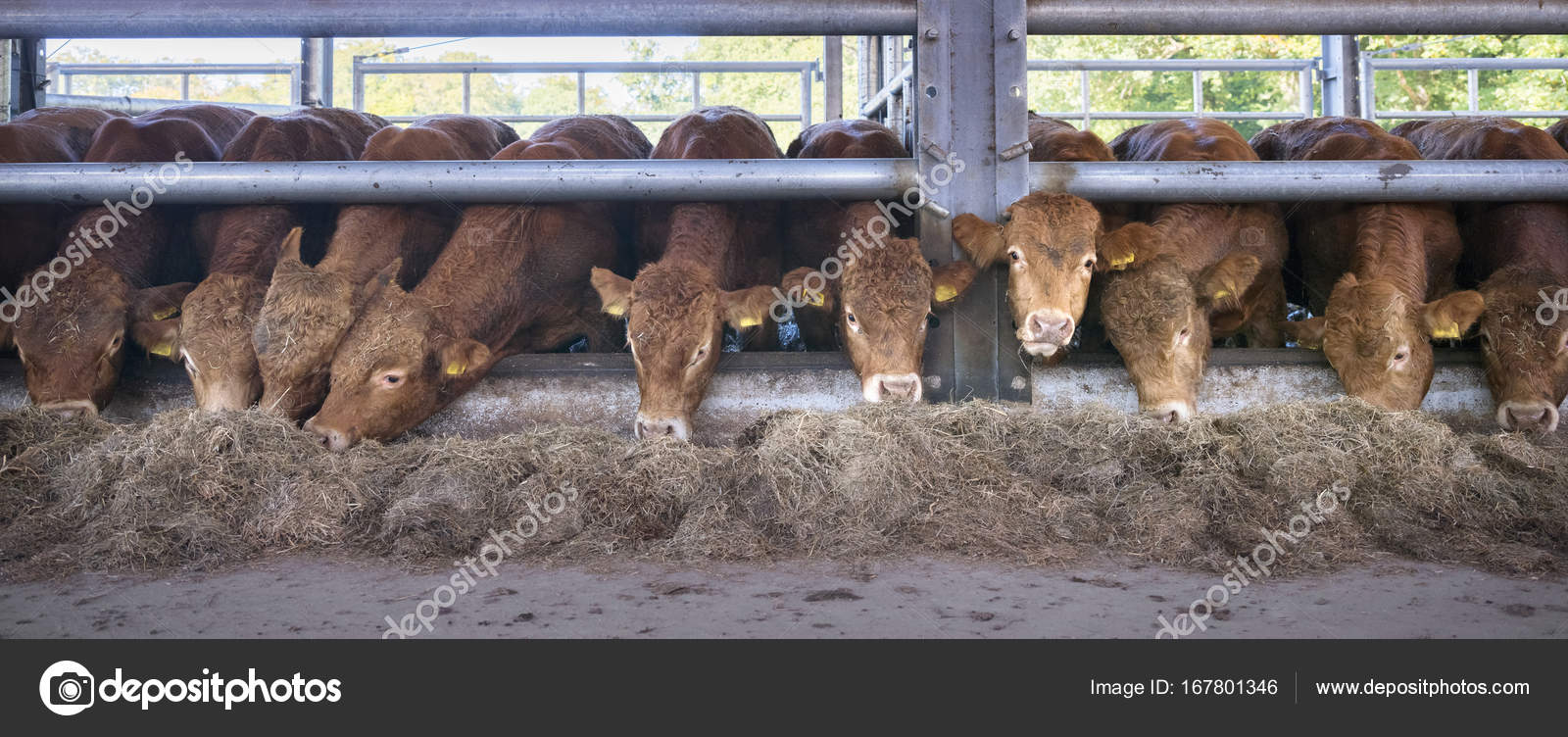 Row Of Young Limousin Bulls Feeds Inside Barn On Organic Farm In Stock Photo