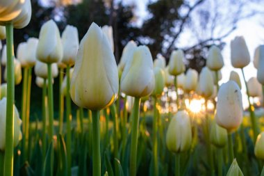 White tulips and sun during sunset