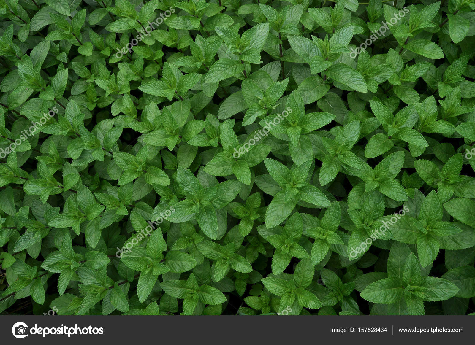 Mint in the garden. — Stock Photo © seans4546 #157528434
