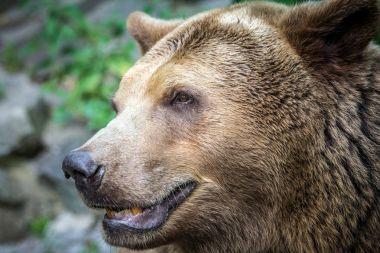 """Картина, постер, плакат, фотообои """"bear 's head in profile ."""", артикул 168458842"""