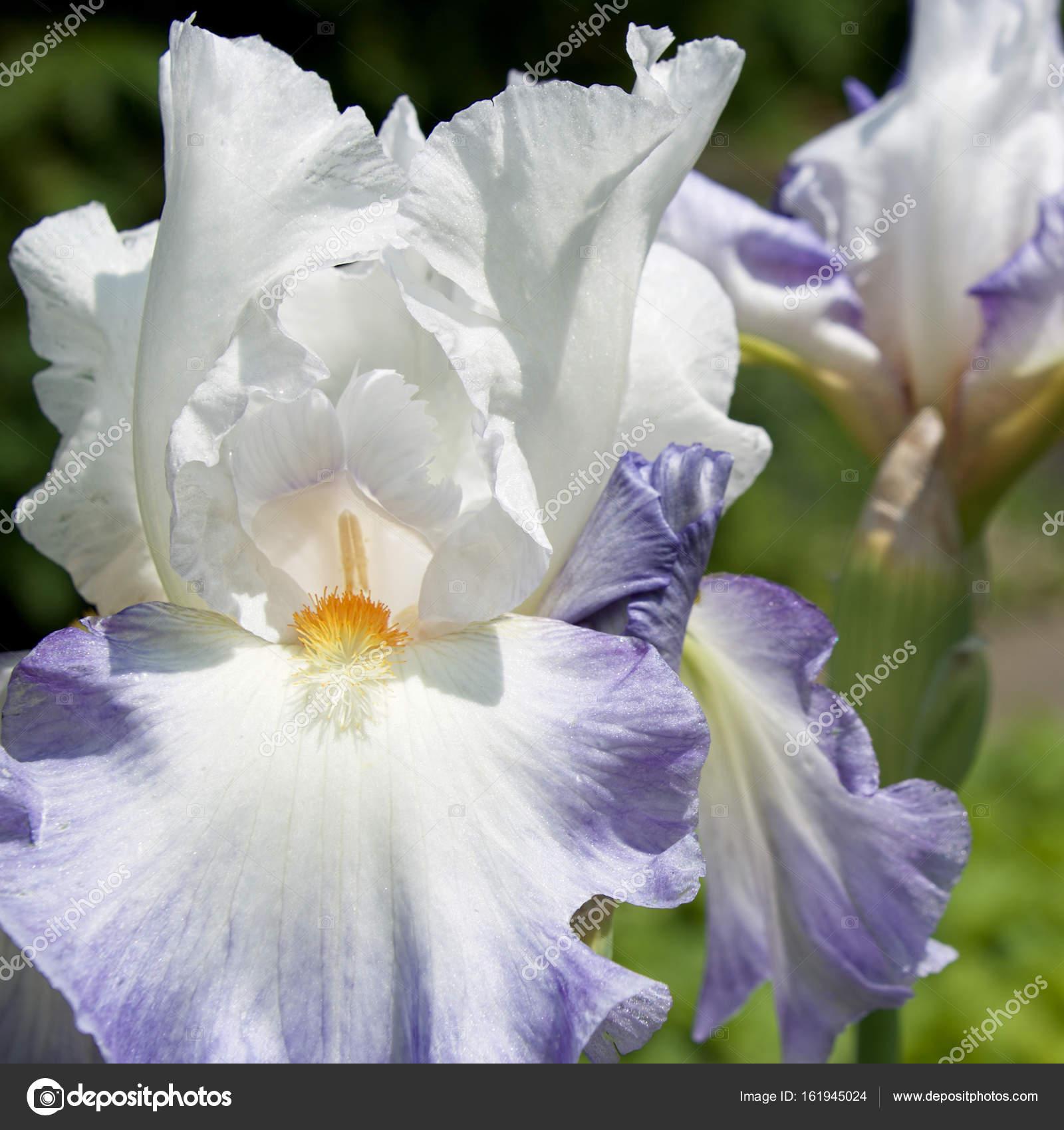 White Iris Flower Stock Photo Elengrant 161945024