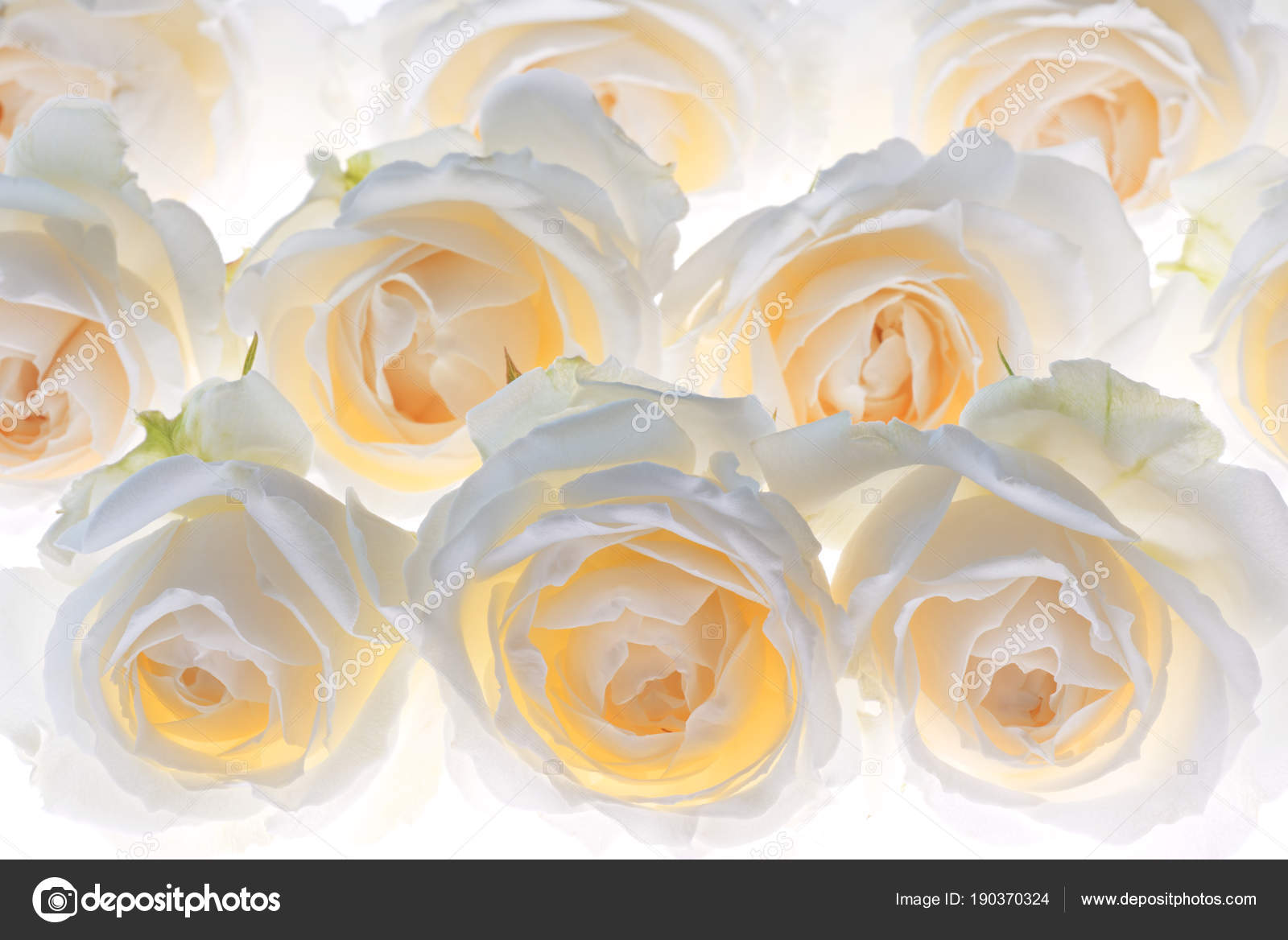 White rose flower blossoms wedding background — Stock Photo