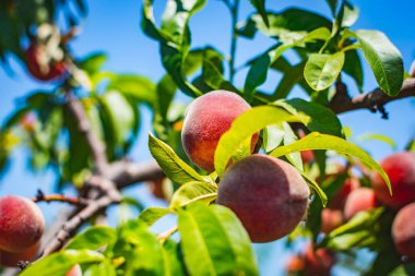 """Картина, постер, плакат, фотообои """"персик. органические натуральные фрукты. здоровое питание """", артикул 159689762"""
