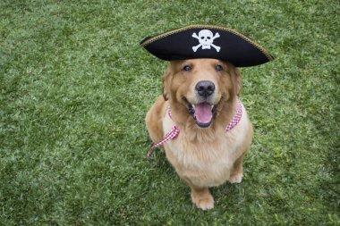 Happy Golden Retriever Dressed Like a Pirate