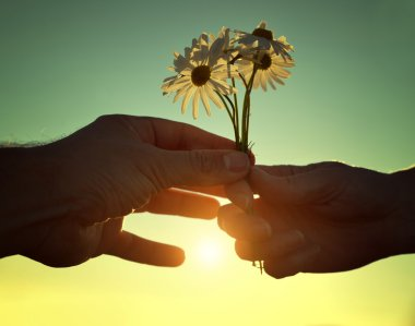 Hand gives a flowers marguerites with love at sunset.