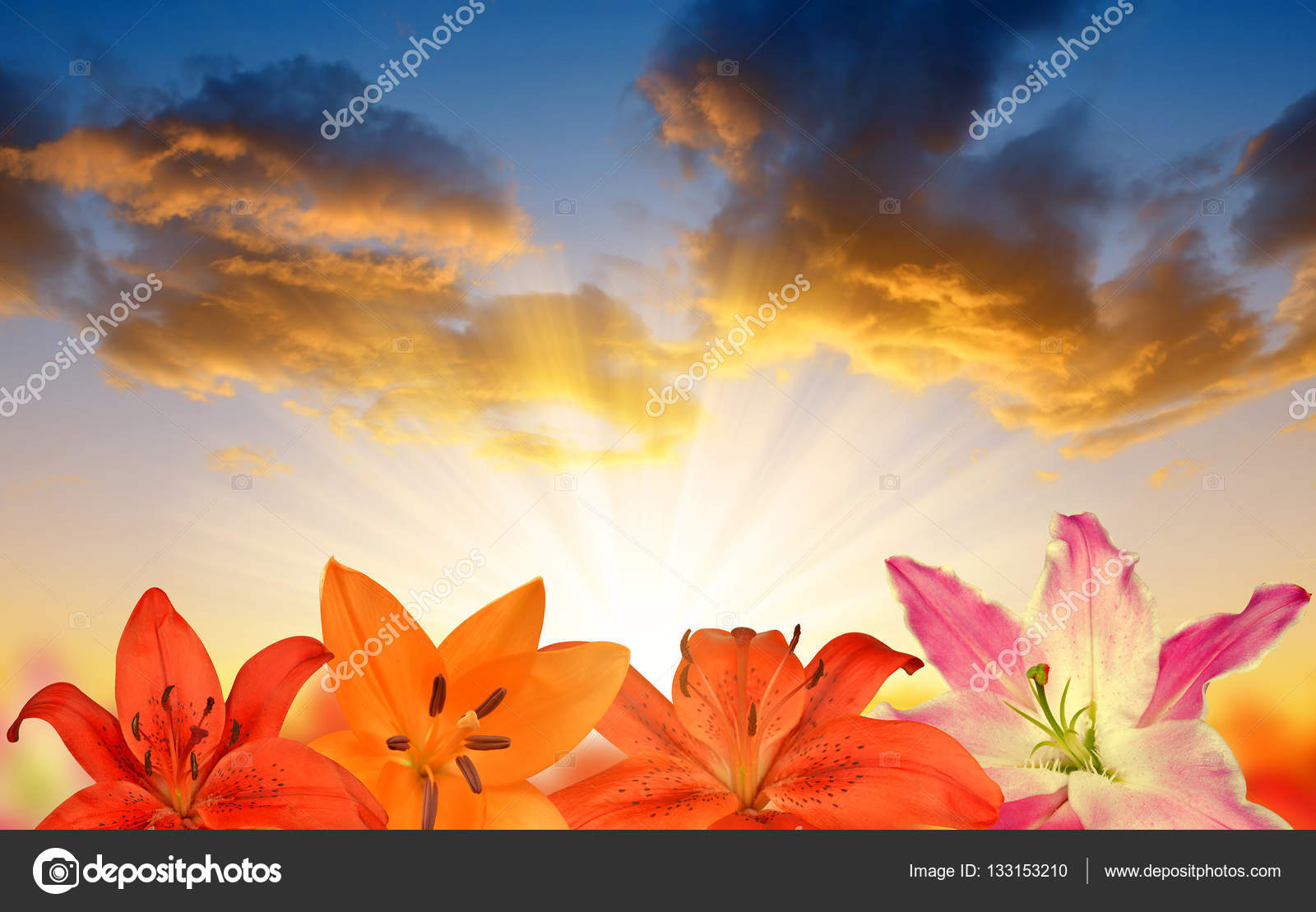 Lily flowers at sunset stock photo vencav 133153210 lily flowers at sunset stock photo izmirmasajfo