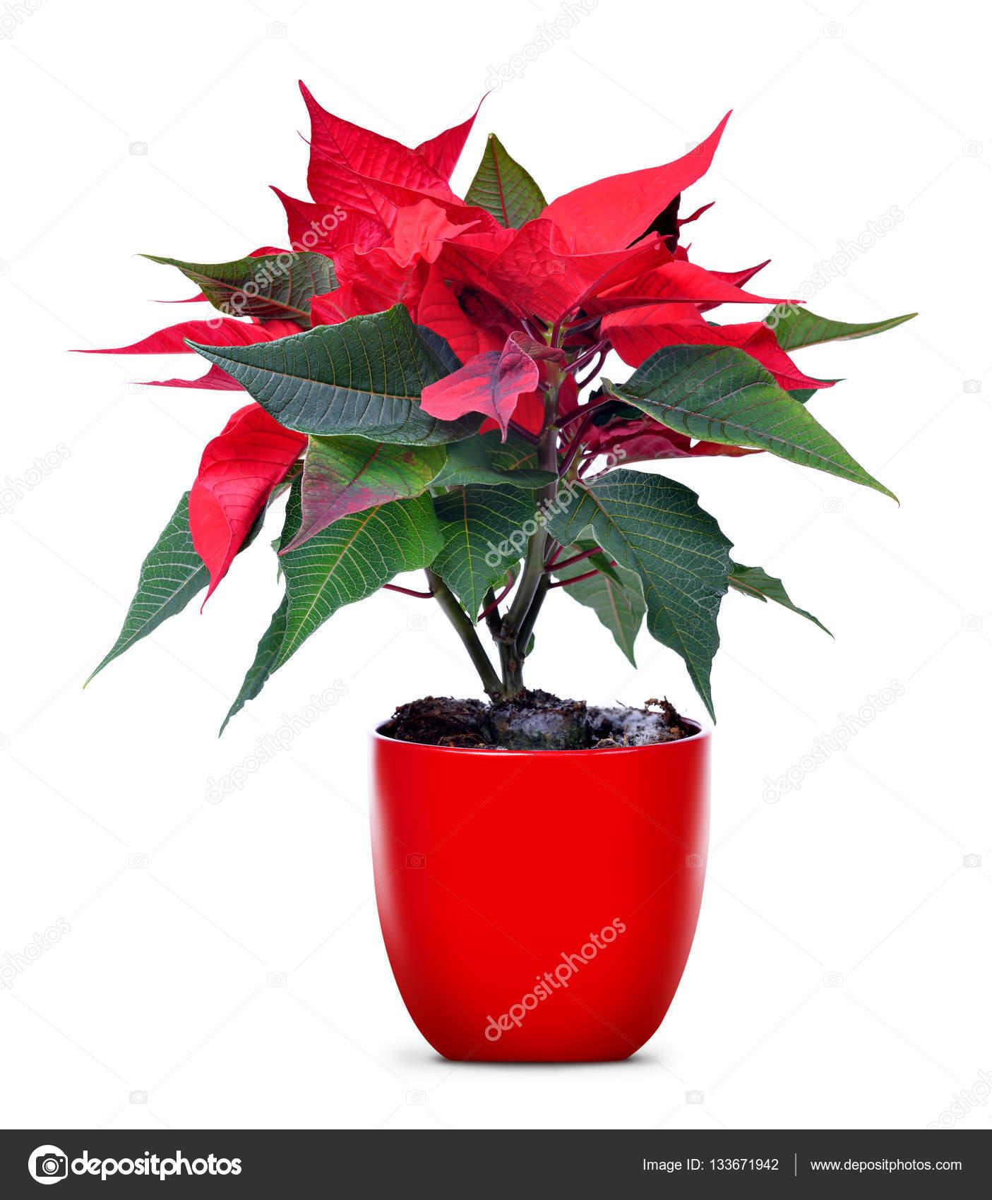 Boże Narodzenie Czerwony Kwiat Poinsettia W Doniczki