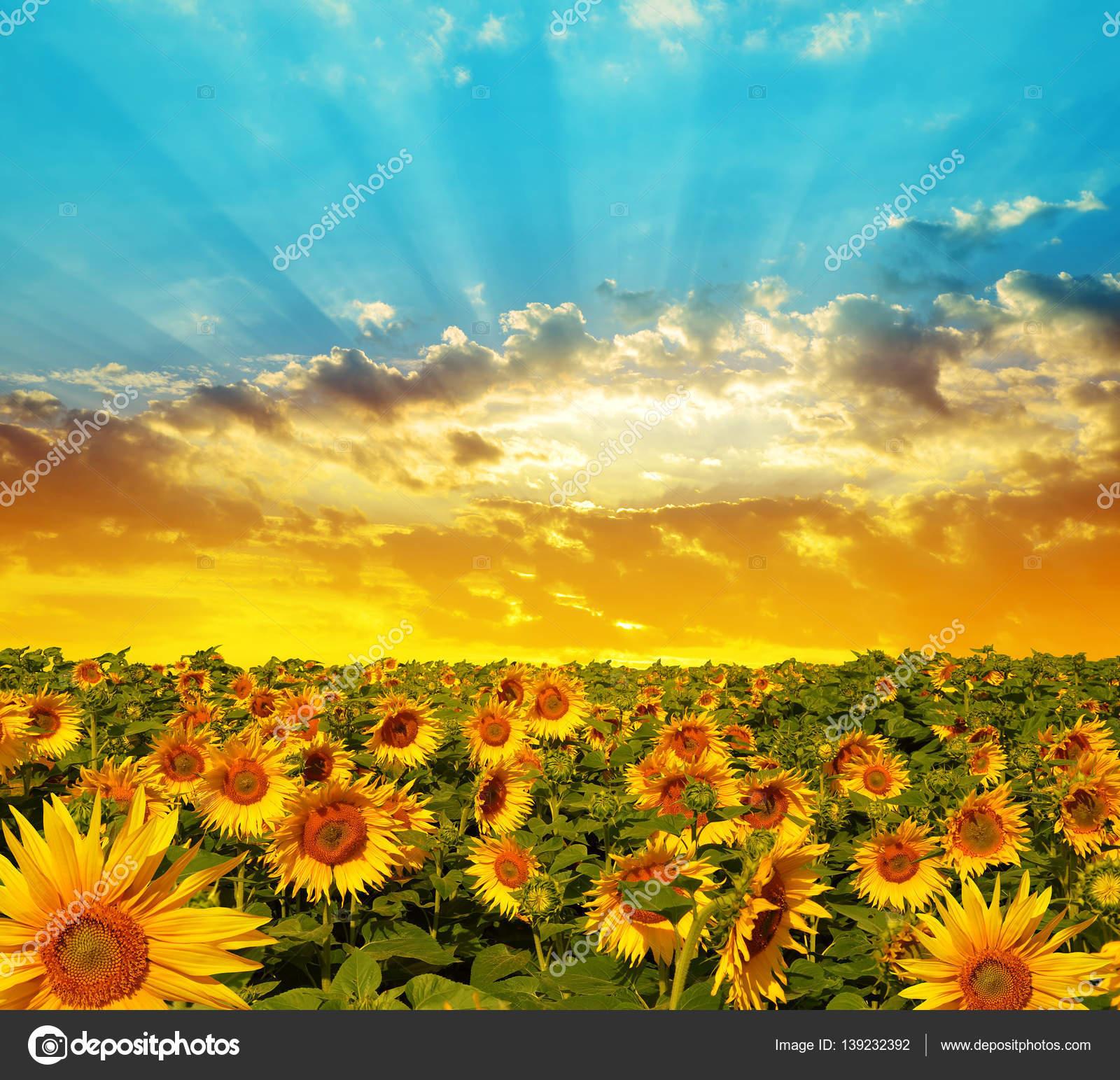 Campo di primavera paesaggio con fioritura del girasole — Foto Stock ...