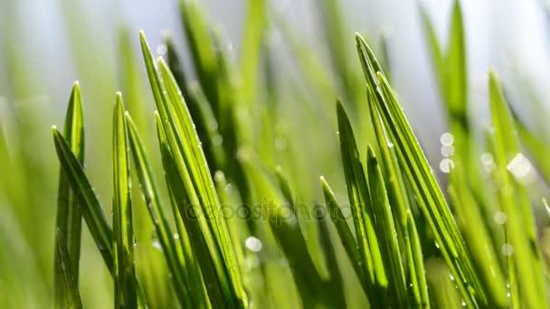 Čerstvé zelené listy trávy v dešti.