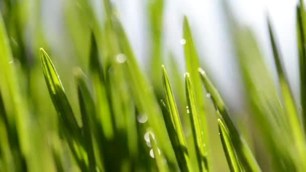 Fresh green blades of grass in rain.