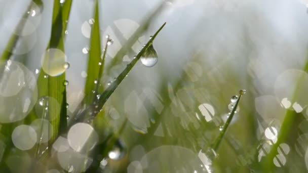 Čerstvé zelené jarní tráva s kapkami Rosy.