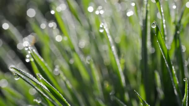 Čerstvé zelené jarní tráva s kapkami Rosy