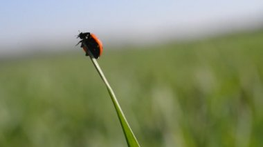 katicabogár a fűszál