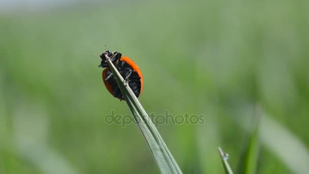 Beruška na ostří trávy.