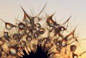 Fotografie Kapky rosy na semínka pampelišky při východu slunce