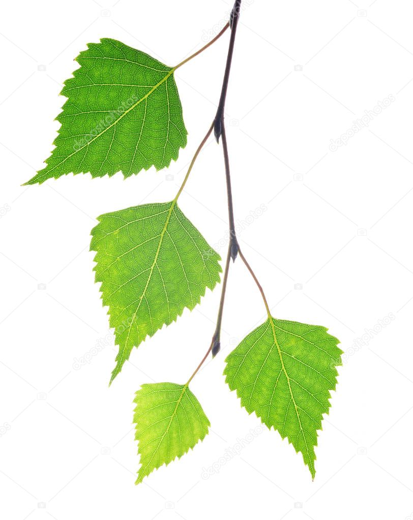 Spring birch branch with green leaves.