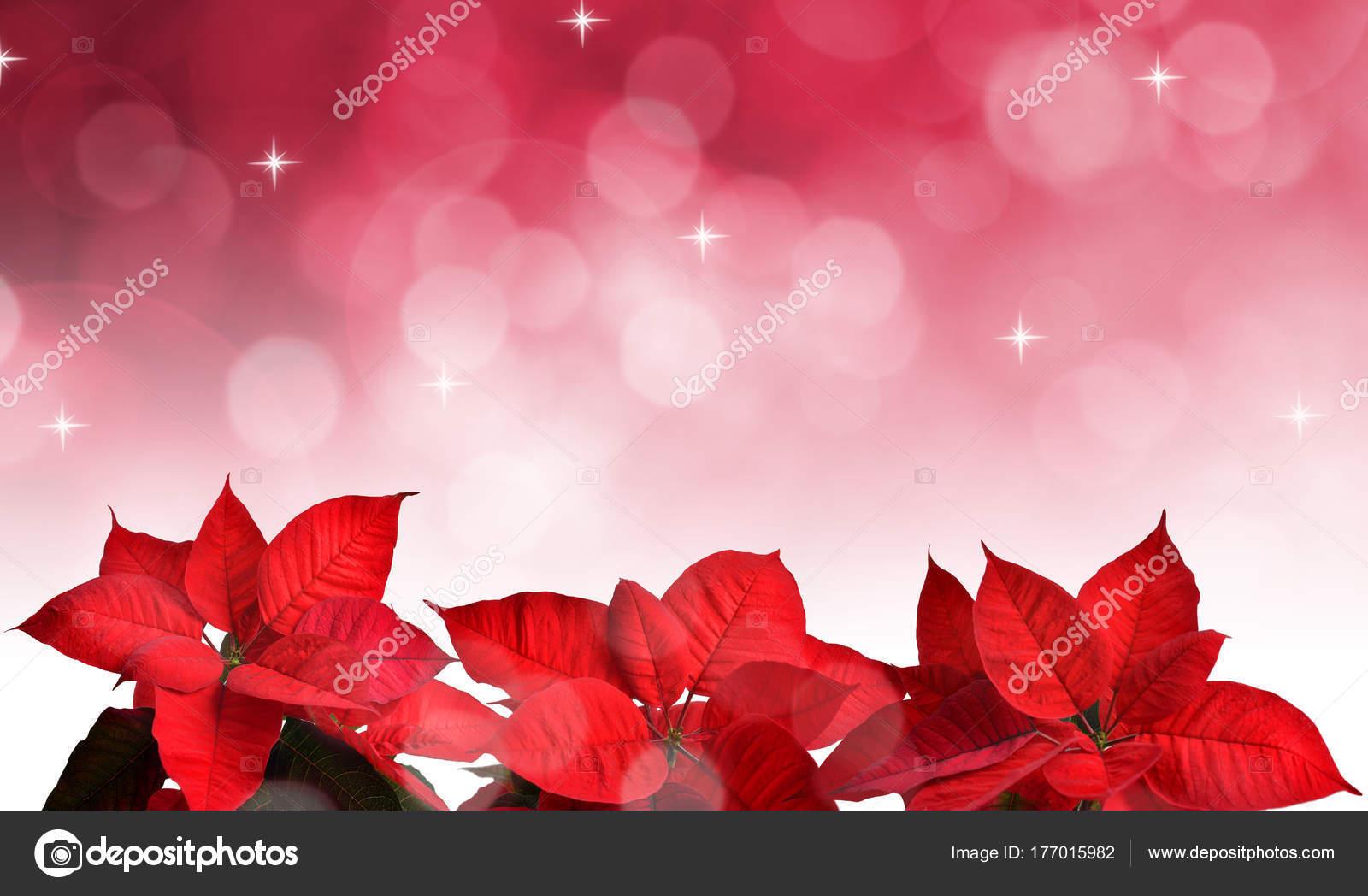 Weihnachtsstern Pflanze Für Weihnachten Auf Rosa Hintergrund Jedoch ...