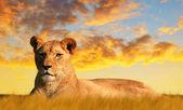 Photo Lioness on the savannah at sunset. Wildlife photo.