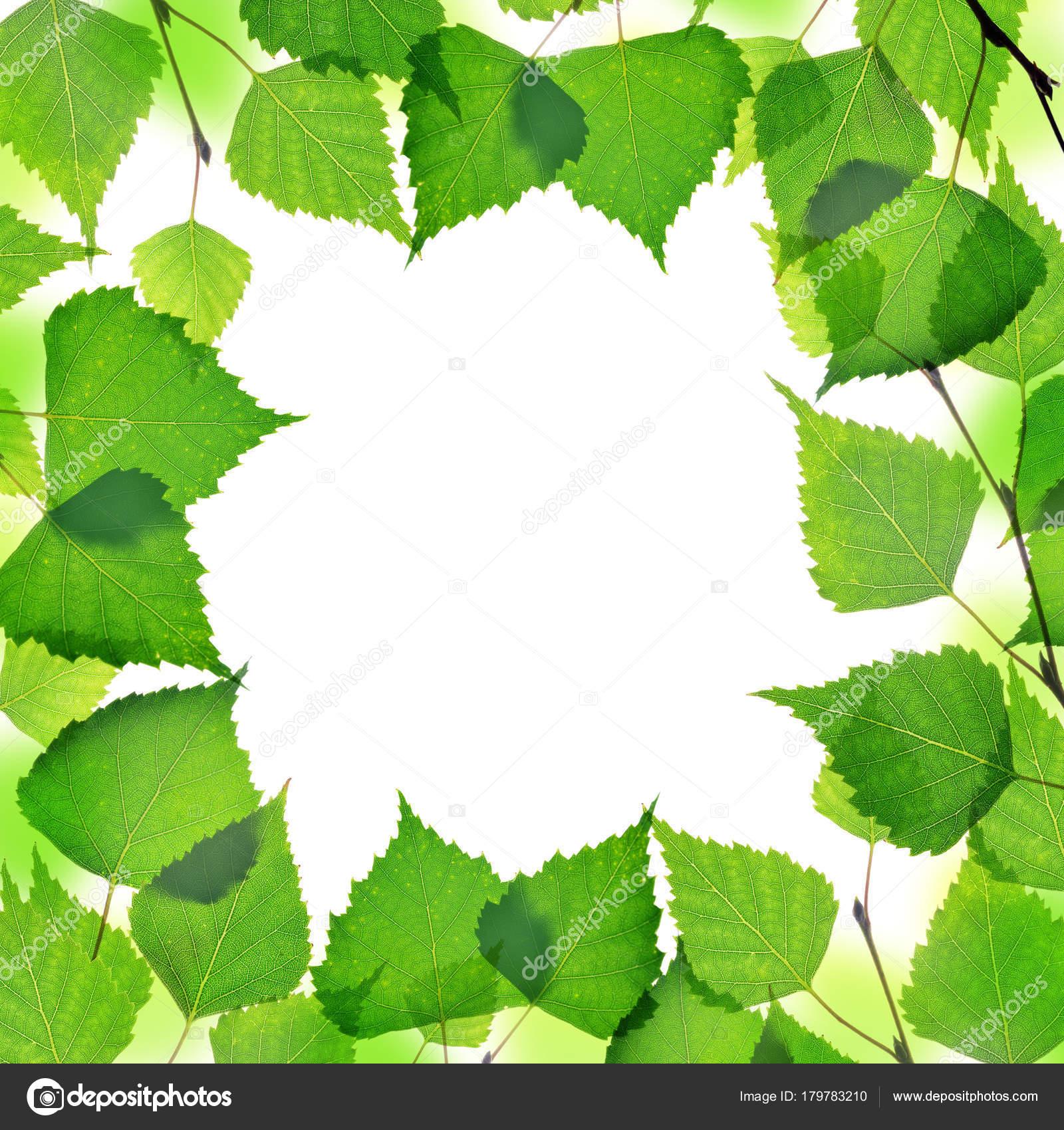 Marco Rama Abedul Primavera Con Hojas Verdes Aisladas Sobre Fondo ...