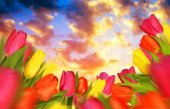 Colorful tulips with green leaves at sunset.