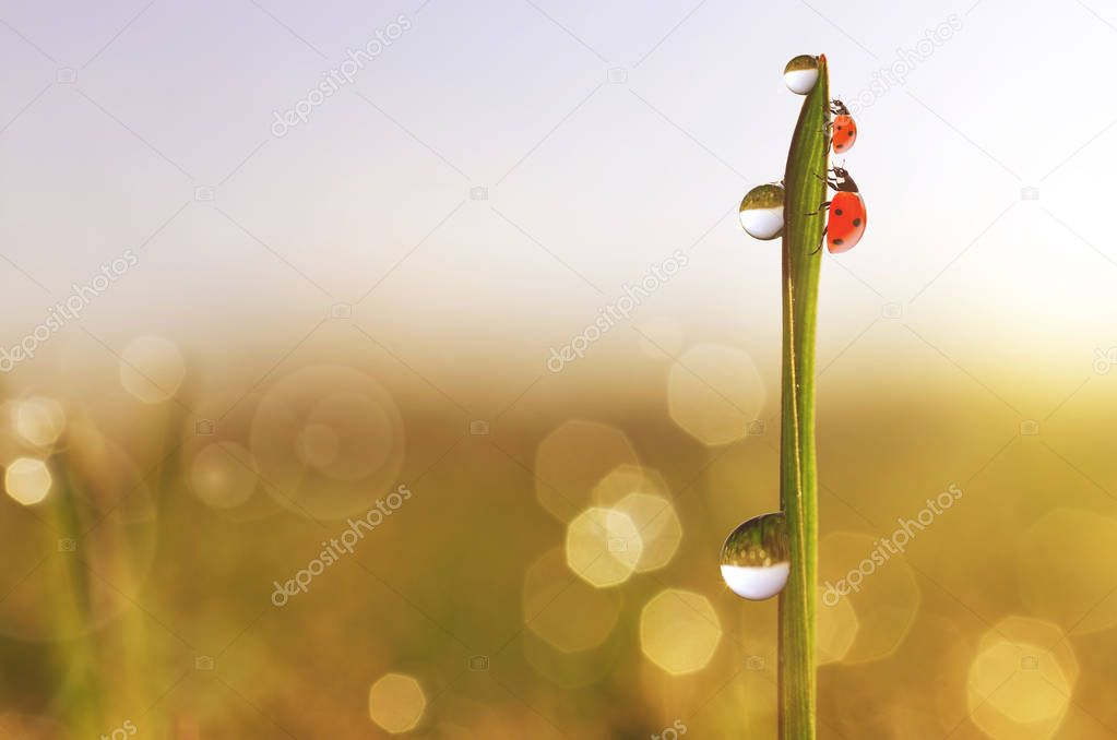 Drops of transparent rain water and ladybugs on a green leaf of grass close up. Fresh morning dew on the meadow. Natural background.