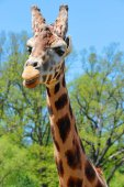 Portrait of a giraffe (Giraffa camelopardalis).Wildlife shot.