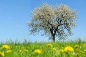 Jarní krajina. Kvetoucí třešeň na louku s pampelišky